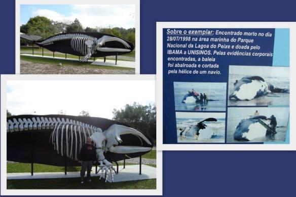 Esqueleto de Baleia-Franca. (18/06/2009)
